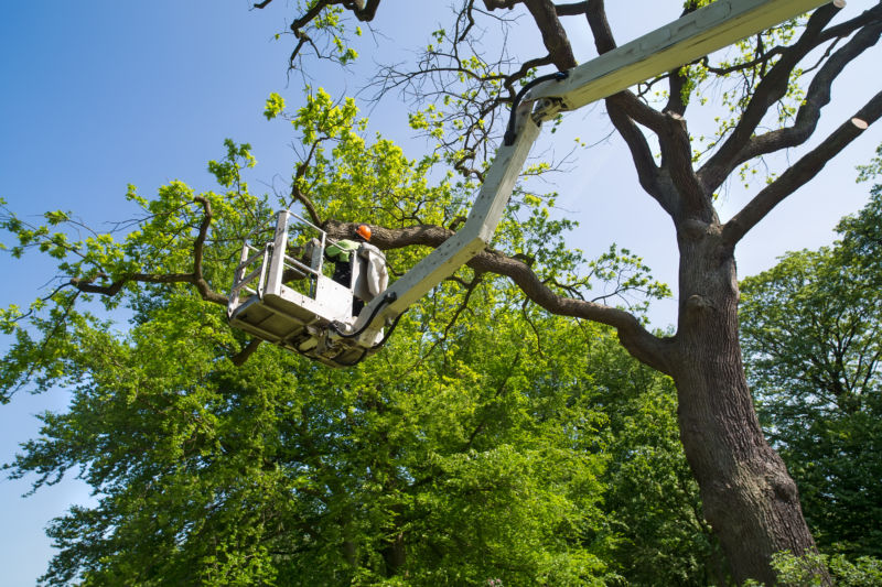 Gardener or tree surgeon pruning a tree using an elevated platform on the hydraulic articulated arm of a cherry picker.